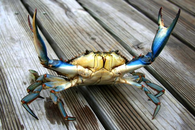 /Templates/2.0/images/state-images/maryland-state-bluecrab.jpg